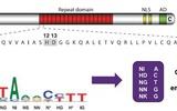 宝柏公司引进首个问世的靶向基因修饰工具TALEN™