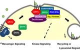 新研究认为α-arrestin将为药物研发开辟新路径