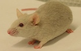 Cell: CRISPR技术加快转基因小鼠模型构建