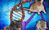 上海交大研究者开发新小鼠模型,有助于研究自然灾害引发的精神障碍