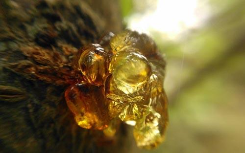 我国研究院发现抚顺琥珀封存5千万年前生物种群