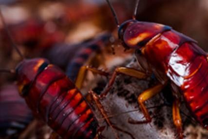 挑战昆虫基因组学-蟑螂