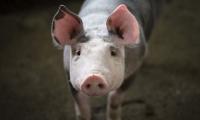 """第一个临床异种器官移植雏形——""""猪3.0"""""""