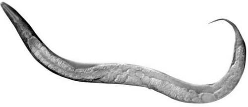 细胞分化研究的模式动物之一:线虫,图片来自uu.nl