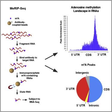 Cell:信使RNA中存在高水平的甲基化现象
