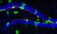 又是海马体,这次发在Cell!科学家发现:海马体中新神经元的来源