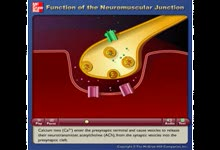 Function of the Neuromuscular Junction 神经突触的作用