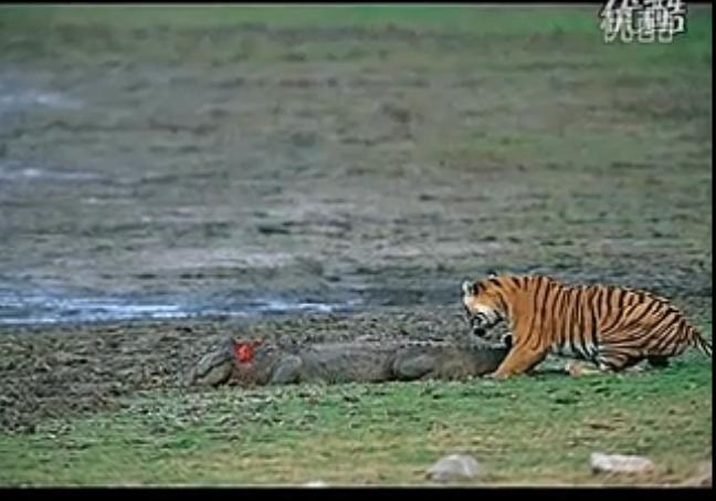 老虎战鳄鱼