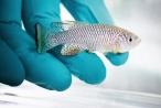 Nature新闻:吃年轻鱼的便便,让老年鱼寿命延长,活力增加!