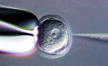 日本将允许利用动物-人类嵌合胚胎培育人类器官