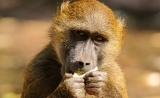 《自然》:猪心脏经过基因改造,移植到狒狒体内后可长期运作