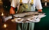 首批转基因三文鱼在加拿大售出
