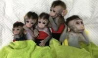"""中科院神经所所长:体细胞克隆猴开启新药研发""""灵长类""""时代"""