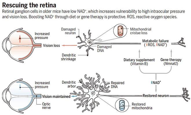 与对照组相比,研究人员发现随着年龄的增长nad(在神经元和其它细胞的