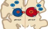 新发现!大脑细胞的pH失衡可能导致阿尔茨海默症