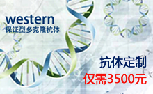 western: 保证型多克隆抗体定制,仅需3500元