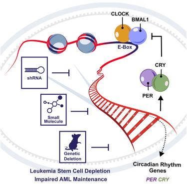 Cell封面故事:扰乱AML细胞的节律有望治疗白血病