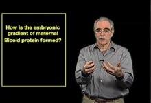 Eric Wieschaus:胚胎中 Bicoid 蛋白梯度