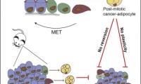 Cell子刊:乳腺癌细胞能被转化为脂肪细胞?