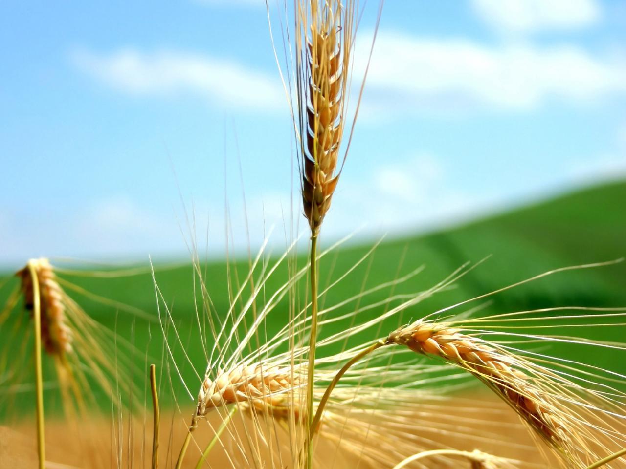 转基因小麦试验