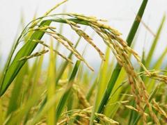 我科学家利用基因编辑技术成功克隆出杂交稻种子