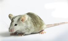 基因敲除小鼠技术专题