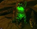 美科学家培育出夜光猫 可帮助治疗艾滋病