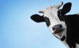 Nature:奶牛能快速产生HIV广谱中和抗体