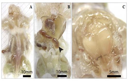 小鼠大脑解剖图-Cell 新技术让器官透明化 实现生物学家梦想