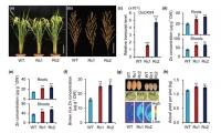 遗传发育所在富锌水稻培育及机制研究中取?#23186;?#23637;