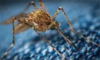 蚊子會傳播新冠病毒?官方回應來了!