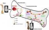 Science Immunology封面文章:不容忽视的疟疾后遗症和一个简单有效的预防措施
