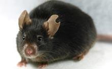 科学家成功利用白血细胞克隆实验小鼠