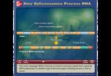 Spliceosomes Process RNA-RNA剪接成成熟的mRNA的过程