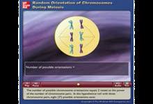 Random Orientation of Chromosomes During Meiosis-减数分裂中染色体的方向性