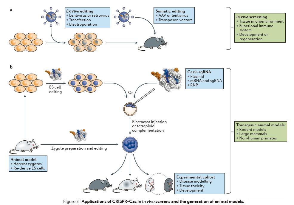 除了在细胞培养中的应用,基因组编辑也显著改变了我们产生疾病动物