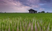 科学家破解水稻杂种优势基因