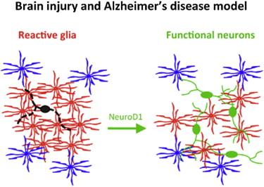 细胞为功能性神经元