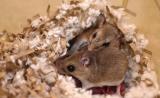 科学家首次发现动物亲代抚育行为背后的遗传因素