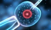 """""""卵子死亡""""致病机制找到,原来遗传自父方"""