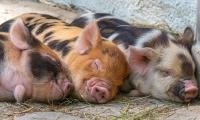 美国FDA批准转基因猪,推进医疗用途的异种移植