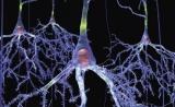 聪明者的脑细胞真的更大   BioRxiv 论文推荐