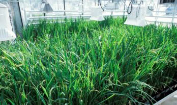 转基因水稻基因漂变不可避免但缓慢