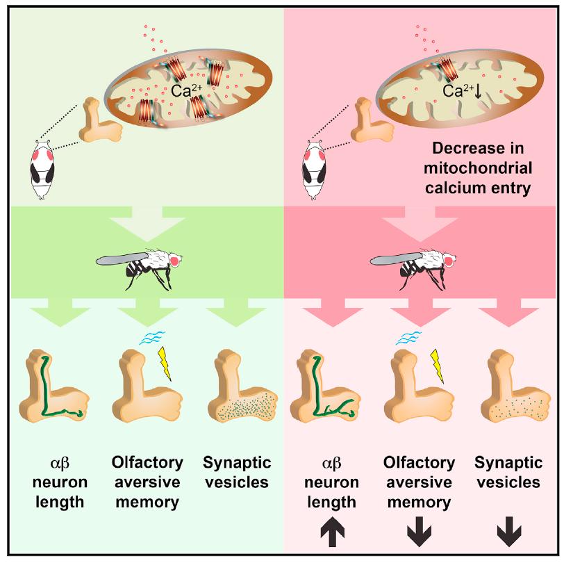 科学家发现钙离子在大脑记忆中扮演着重要角色