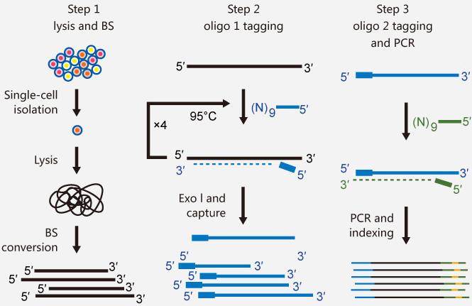 单细胞bs测序建库方法