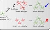 中科院等破解腦內再殖小膠質細胞起源之謎 | Nature子刊