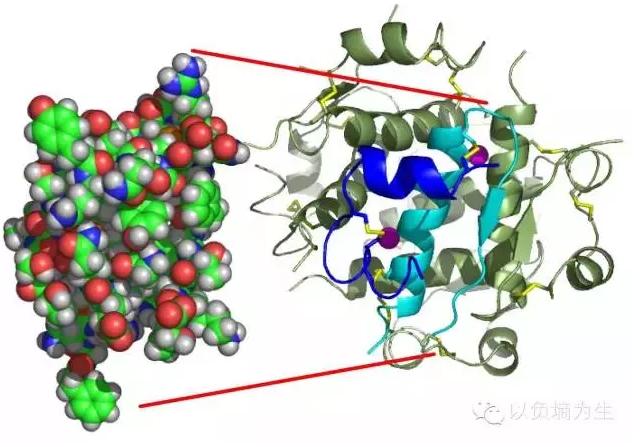 胰岛素分子的三维晶体结构