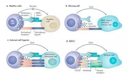nk细胞受体主要包括免疫球蛋白超家族(如kir),c型凝集素家族如nkg2