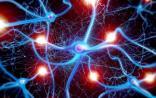 Cell Stem cell:科学家发现脑膜存在神经干细胞
