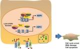 上海药物所揭示组蛋白甲基转移酶G9a促进乳腺癌发展机制